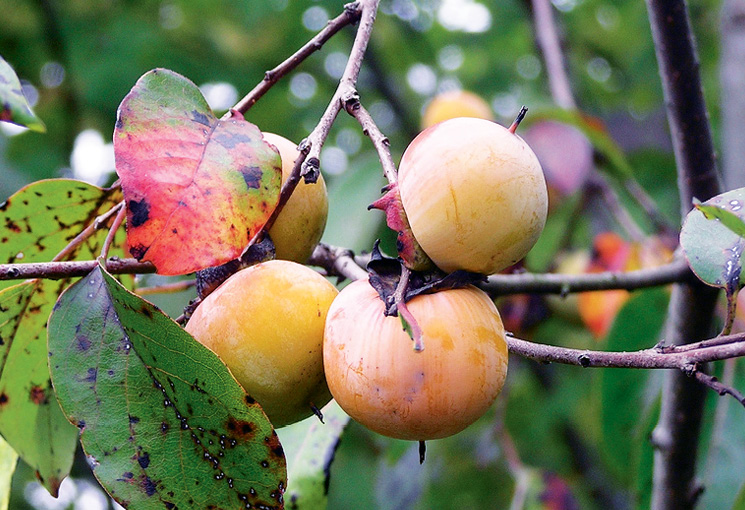 Fruits on an American persimmon tree