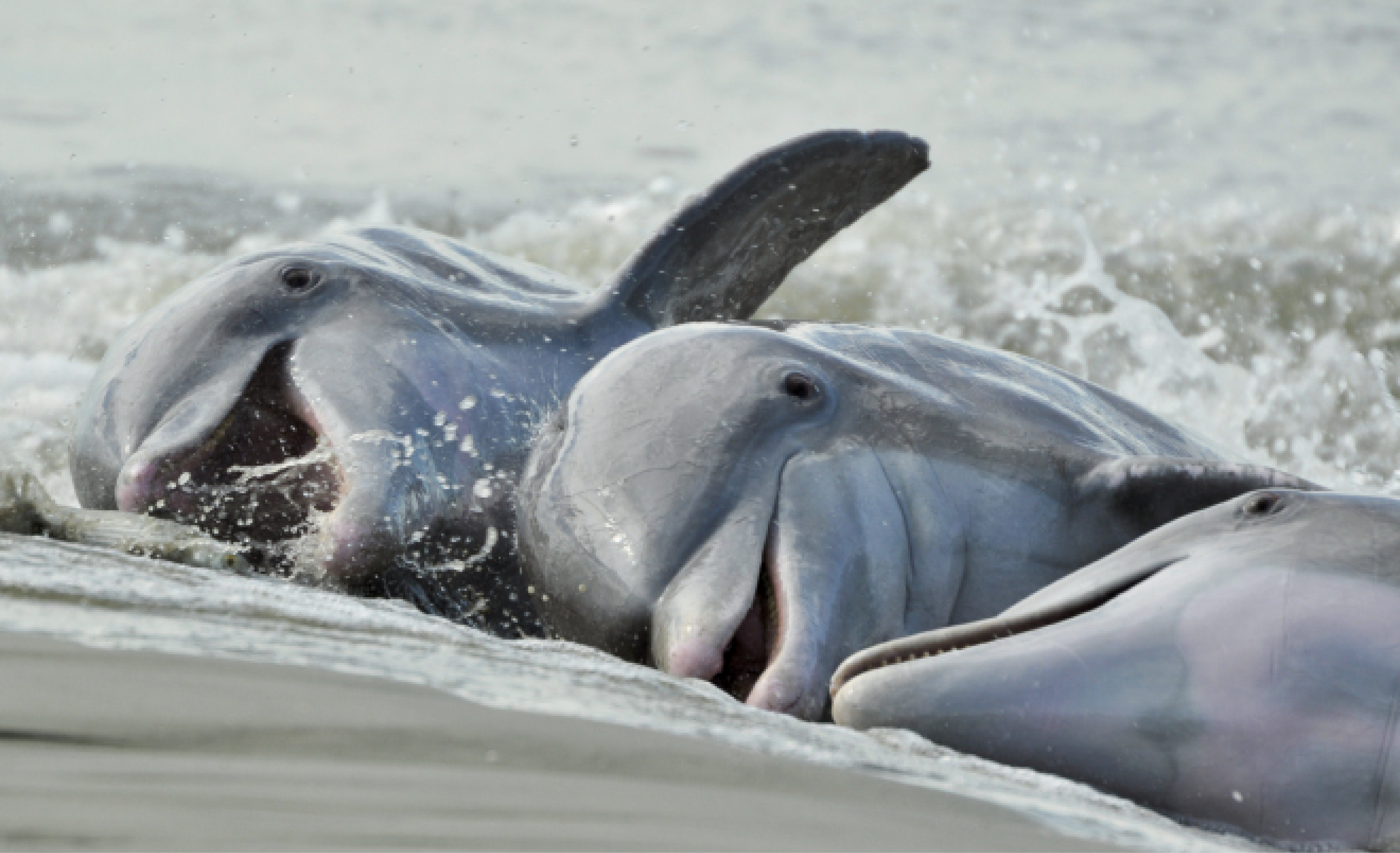 "Alfresco Dining: Some of Charleston's Atlantic bottlenose dolphins are known for a unique, learned behavior called ""strand feeding,"" which entails herding fish onto a bank, then momentarily ""stranding"" themselves on shore to catch their dinner."