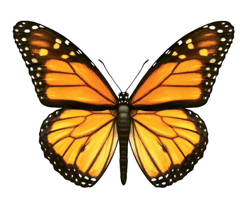 """Monarch Butterfly (Danaus plexippus) - Plant butterfly milkweed in your yard. It's native to the Lowcountry, adds a brilliant burst of orange to the garden, and is a monarch magnet. Learn more about how you can help these insects at <a href=""""https://xerces.org/;"""">https://xerces.org/;</a>"""