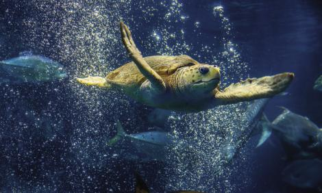 Caretta, a female loggerhead who was raised in captivity, lives in the South Carolina Aquarium's Great Ocean Tank.