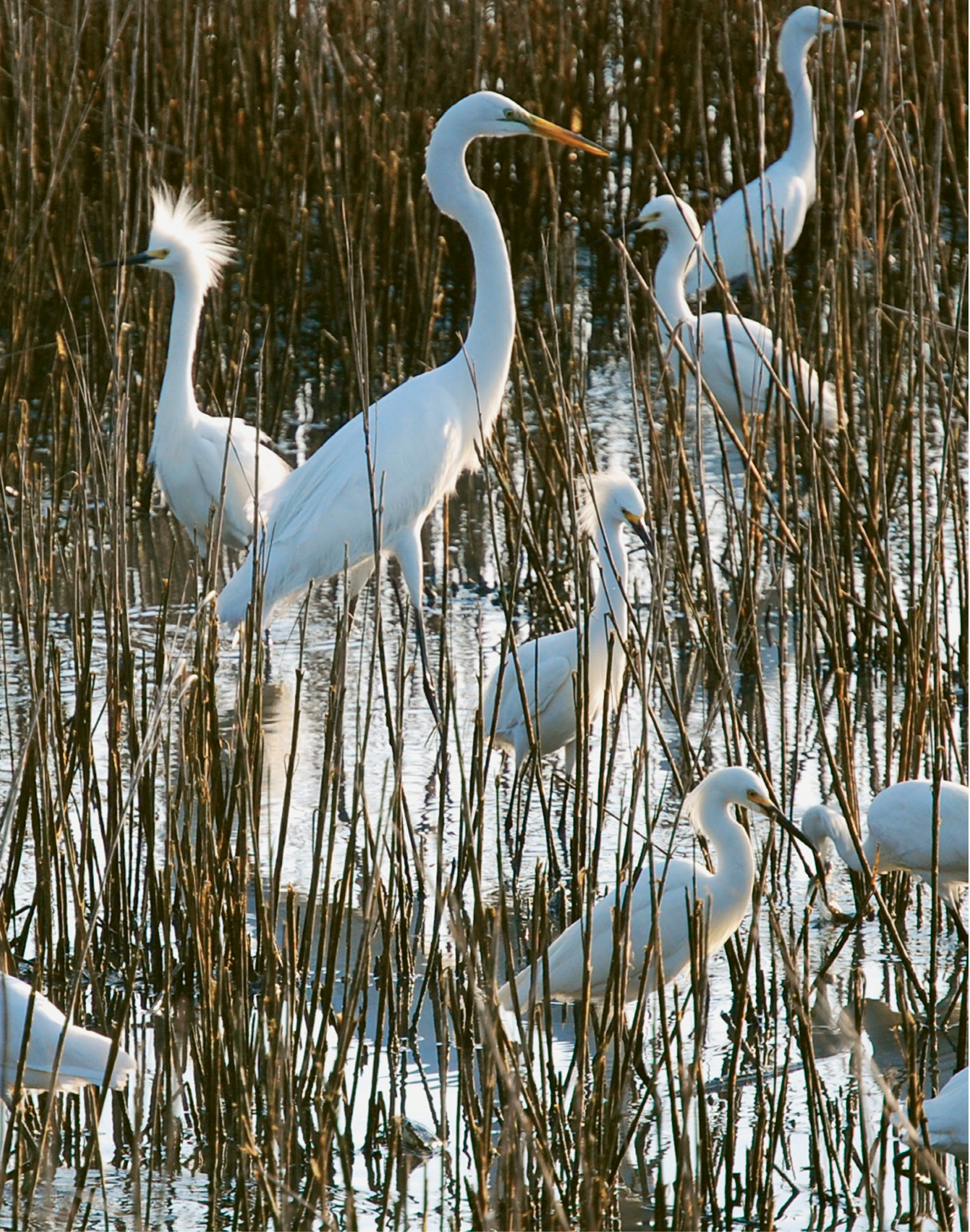 Breakfast Meeting by Hilarie Lambert  {Amateur category} - Hungry egrets in the marsh near the James Island Yacht Club