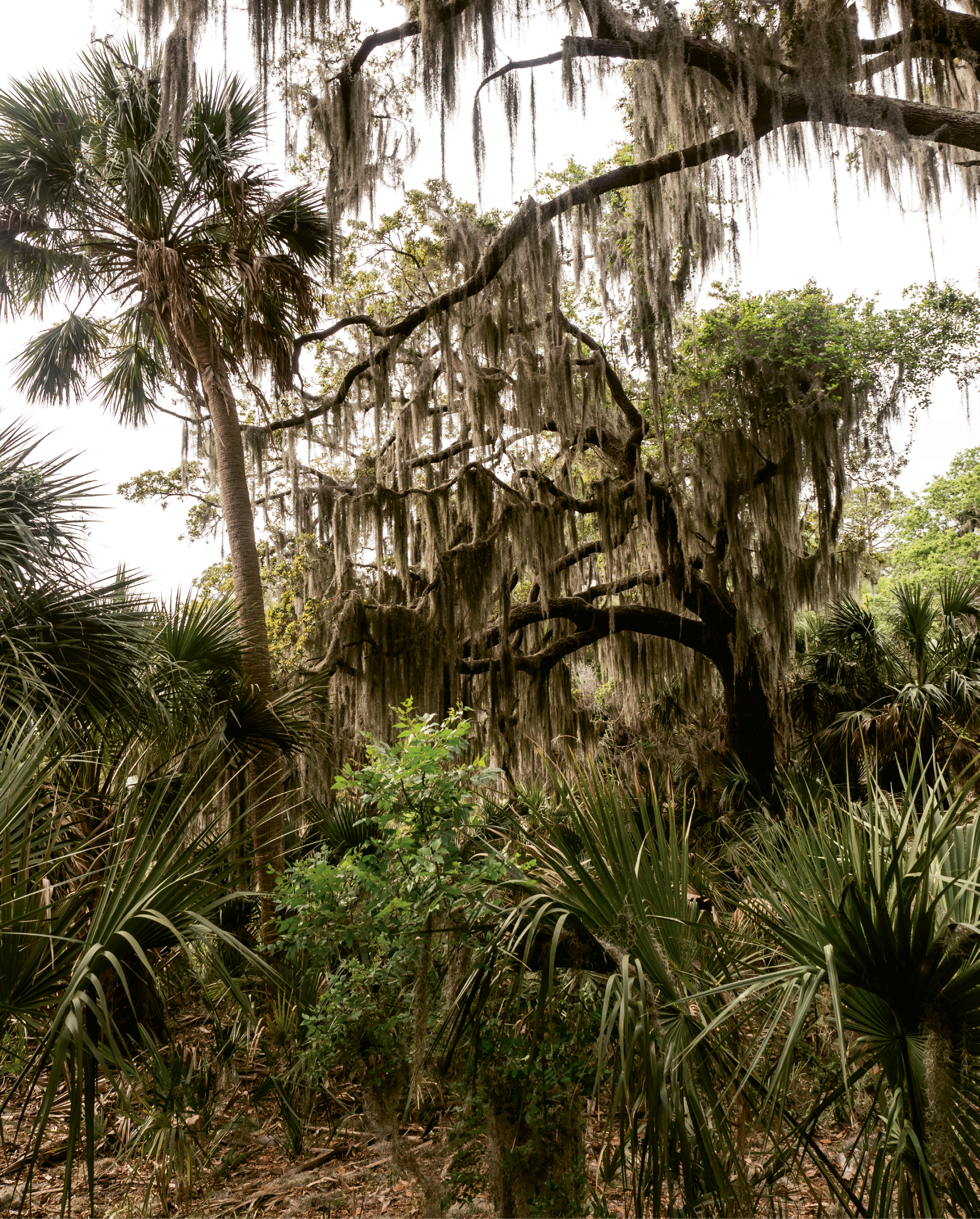 Spanish moss is thick in the maritime forest.