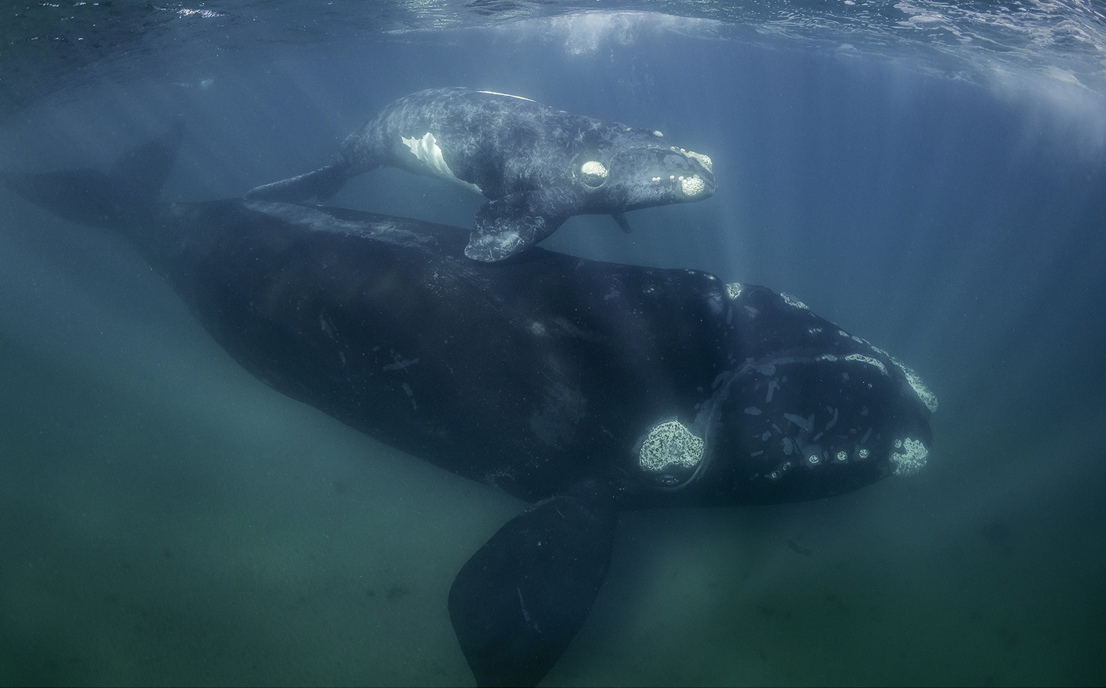 """North Atlantic Right Whale (Eubalaena glacialis) - A massive right whale mama and her calf; Read more about these mammals at <a href=""""https://www.fisheries.noaa.gov/species/north-atlantic-right-whale"""">https://www.fisheries.noaa.gov/species/north-atlantic-right-whale</a>."""