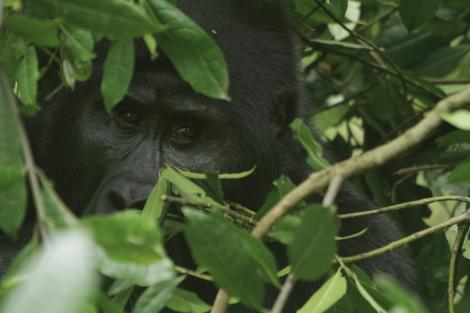 """The gorillas were close to us. Huge, scary, and curious, they would stare and try to figure us out,"" says Barnhardt. ""And we were surrounded by five guys carrying AK-47s to protect us from getting kidnapped by the other kind of guerrillas in the forest. It was intense to say the least."""