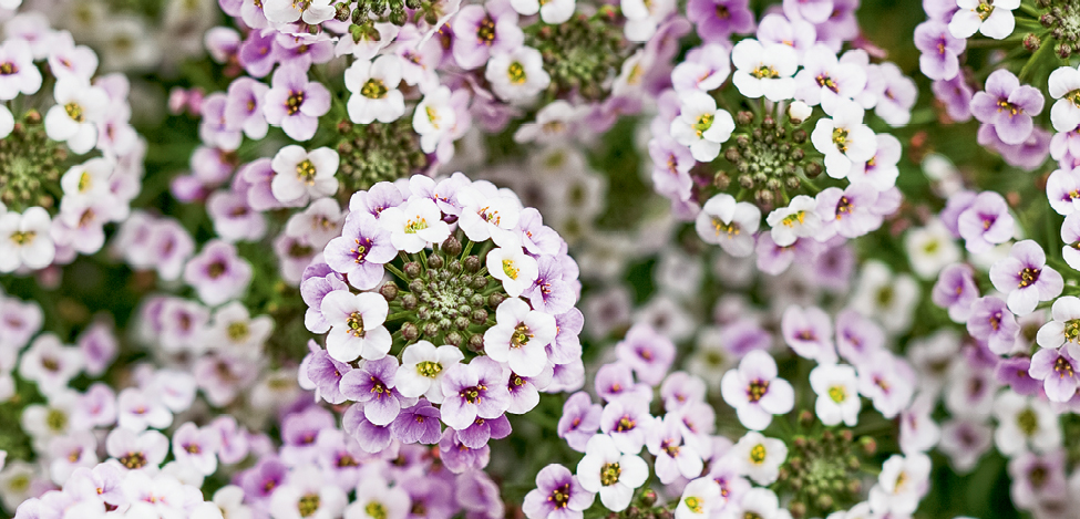 'Blushing Princess' alyssum