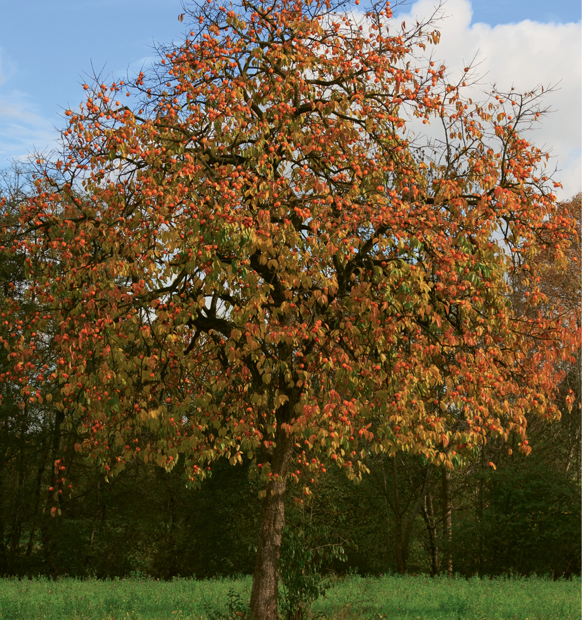 Oriental and American persimmon trees look similar (the latter grows taller).