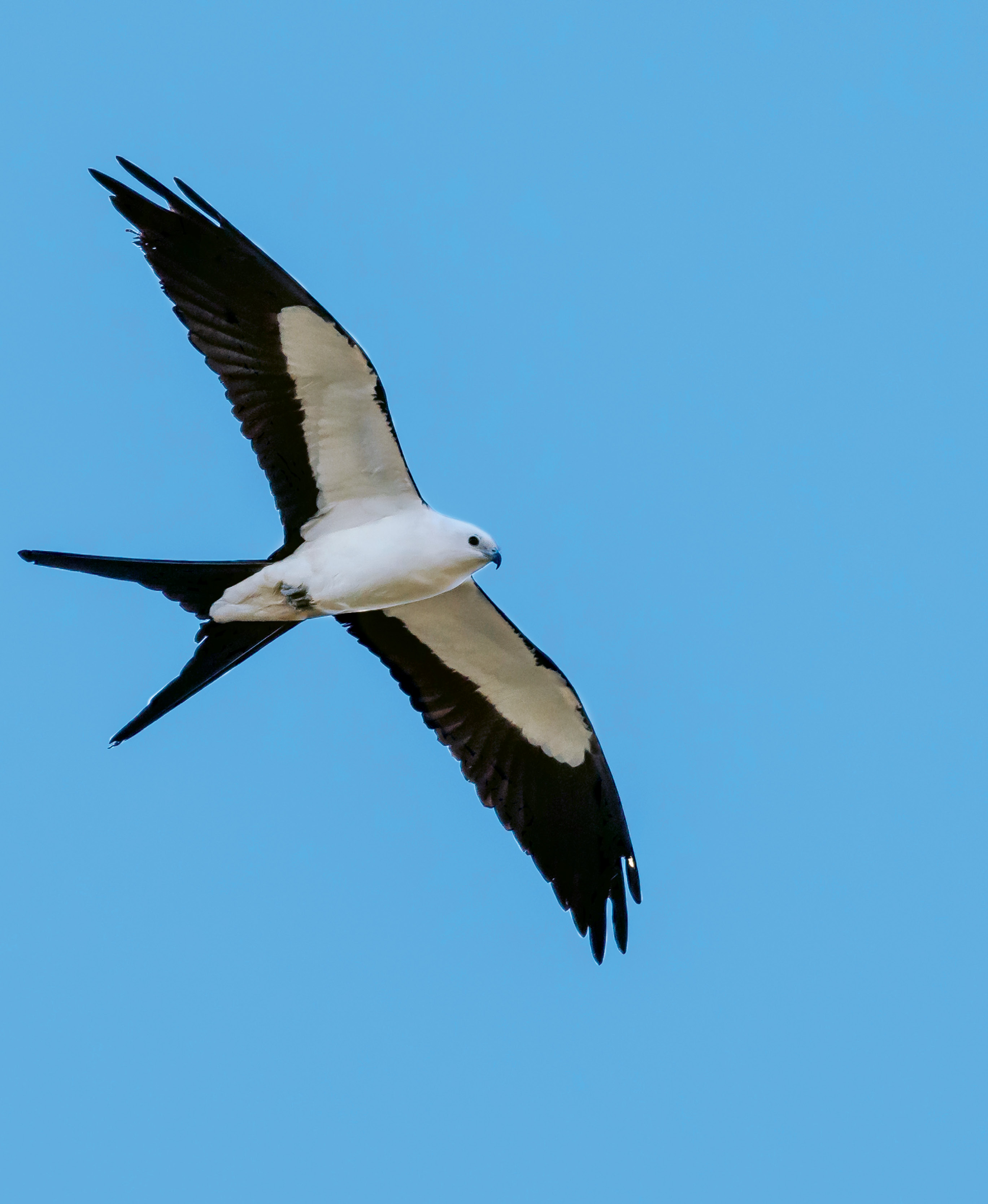 """Swallow-Tailed Kite (Elanoides forficatus) - Locally, swallow-tailed kites are primarily spotted in large floodplain forests and swamps of the outer coastal plain, especially in the Francis Marion National Forest and on the Santee, Edisto, and Savannah rivers; With a former breeding ground that included 21 states as far north as Minnesota, the swallow-tailed kite is now limited to seven or eight Southern states. Help South Carolina and the Center for Birds of Prey monitor their distribution and population trends by reporting sightings at <a href=""""http://www.thecenterforbirdsofprey.org/"""">http://www.thecenterforbirdsofprey.org/</a>."""