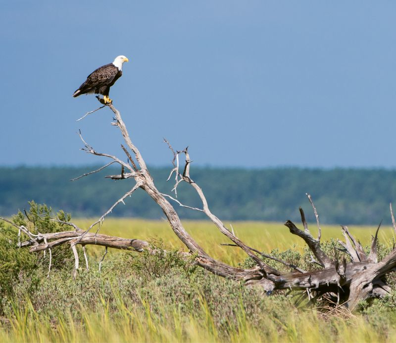 "Bald Eagle (Haliaeetus leucocephalus) - A wild eagle in Cape Romain National Wildlife Refuge near Bulls Island; Learn more about the Center for Birds of Prey and how you can help at <a href=""http://www.thecenterforbirdsofprey.org/"">http://www.thecenterforbirdsofprey.org/</a>."
