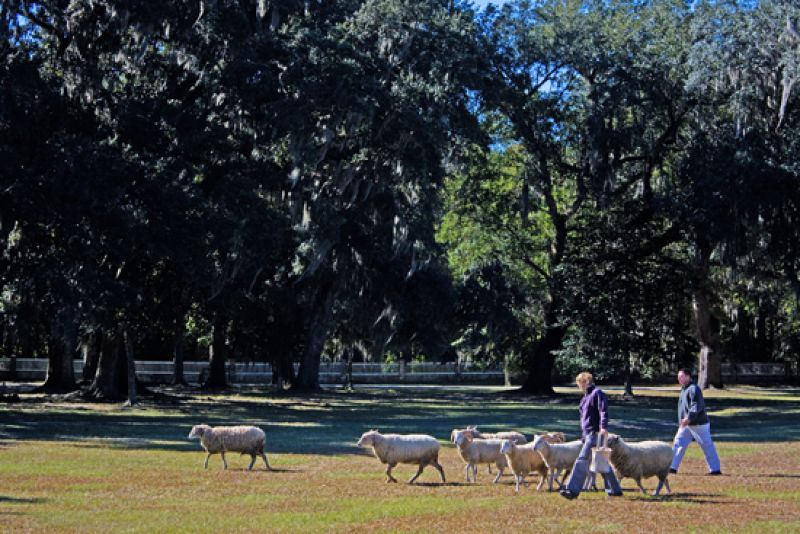 In keeping with Middleton Place's agrarian past, flocks of sheep roam the grounds.