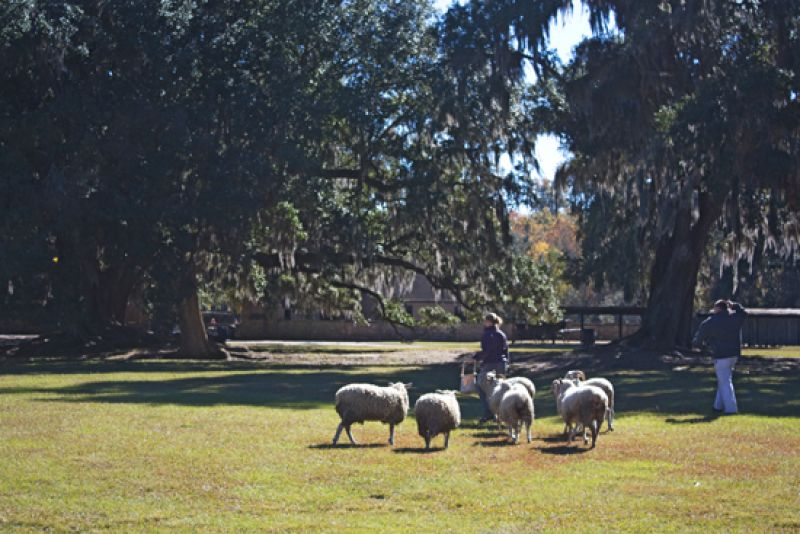 "The sheep, ""Poster Boy,"" is one of the many heritage breeds at Middleton Place."