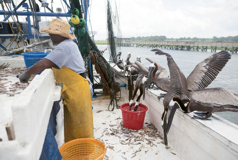Pelicans vie for the bycatch on the Mrs. Judy Too