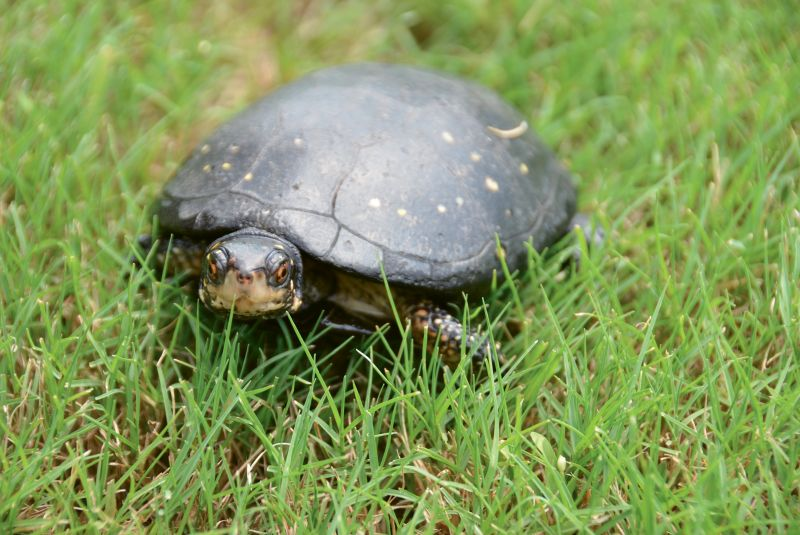 "Spotted Turtle (Clemmys guttata) - Stripes, a female spotted turtle, is an education animal at the South Carolina Aquarium and an ambassador for her species. She was transferred as part of a breeding program with the Association of Zoos and Aquariums; The Turtle Survival Alliance supports turtle conservation across the globe but is based here in Charleston. Check out its work at <a href=""http://www.turtlesurvival.org/"">http://www.turtlesurvival.org/</a>"