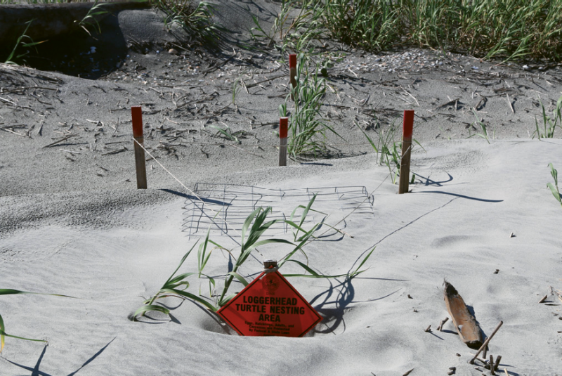 During the loggerhead sea turtle nesting and hatching season (May through October), various area turtle patrols identify and monitor nests ...