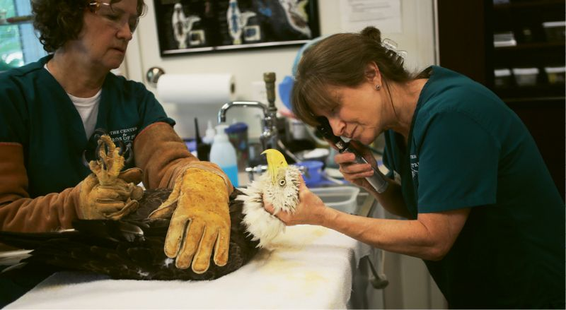 Center for Birds of Prey: Debbie Mauney (right), director of the center's Avian Medical Clinic, and volunteer Mary Pringle examine a bald eagle with a fractured radius and ulna, likely caused by collision. To date, the center has treated and released more than 8,000 wild birds of prey and shorebirds, as well as collected important data regarding the challenges faced by wild bird populations.