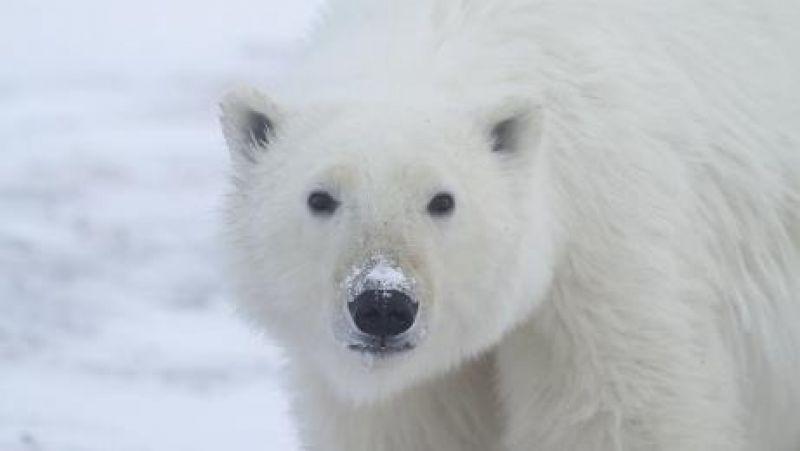 Polar bear in the Canadian tundra of Arviat.