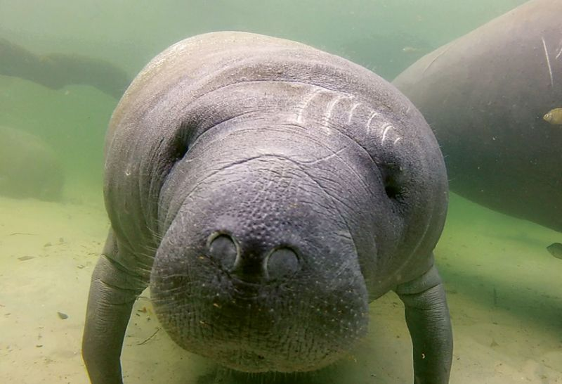 "West Indian Manatee (Trichechus manatus) - Being an alert boater, especially in tidal creeks where manatees like to feed, goes a long way toward helping these mammals avoid boat collisions, which are the number one threat to manatees. Find additional resources at <a href=""https://www.fws.gov/southeast/wildlife/mammals/manatee/"">https://www.fws.gov/southeast/wildlife/mammals/manatee/</a>."