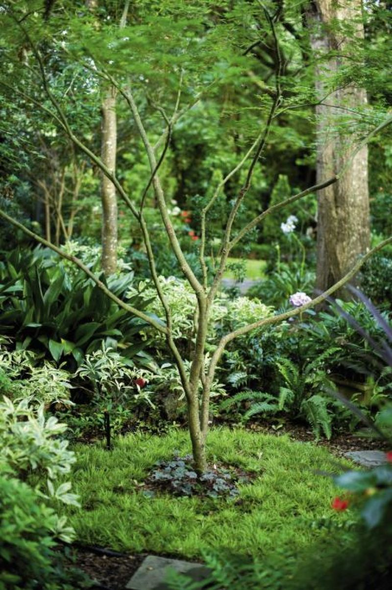 BRANCHING OUT: A Japanese maple planted with Acorus grass, shady lady, Daphne odora, and ferns