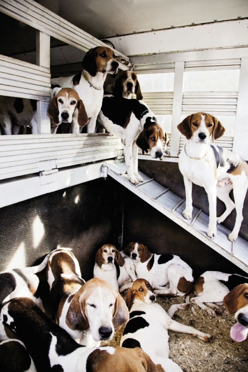 The tricolor foxhounds  huddle in the transport truck eagerly awaiting the chase. Spectators are welcome at Tryon Hounds' events.
