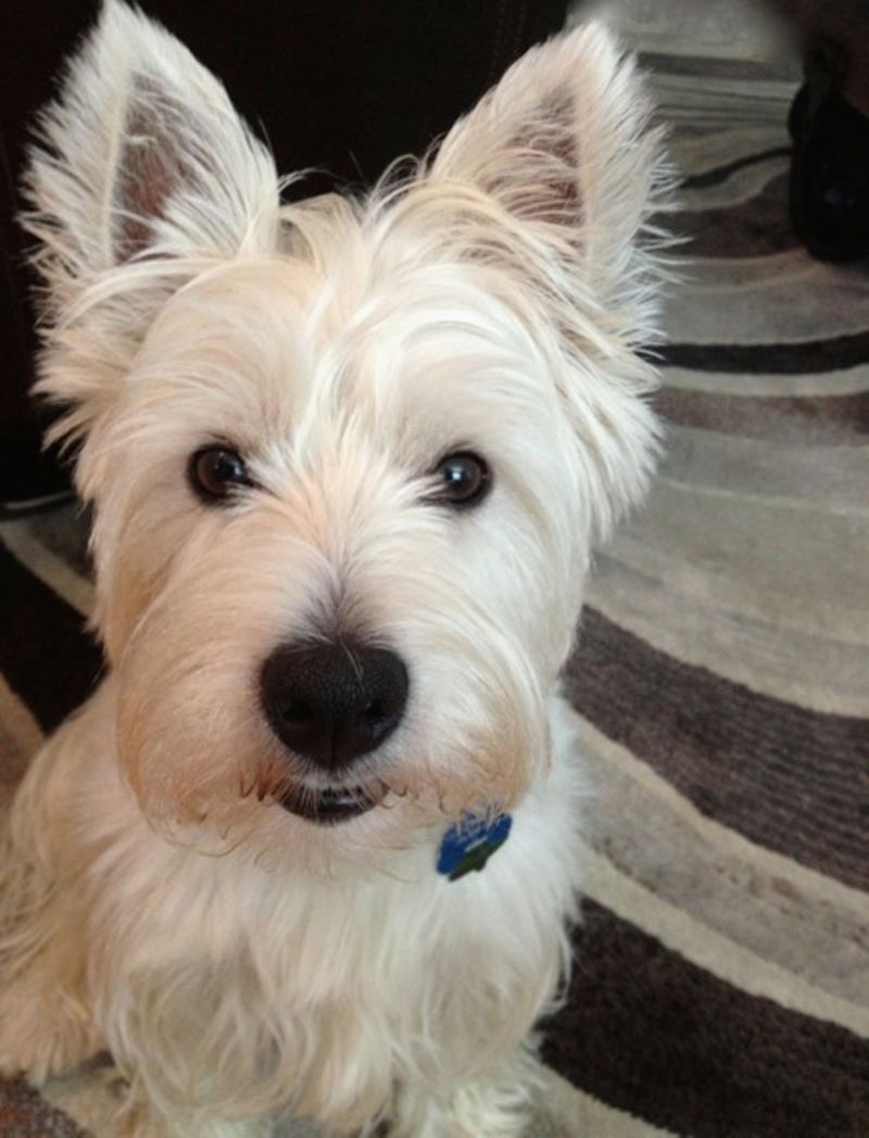 Rutledge, West Highland Terrier