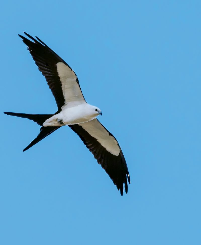 "Swallow-Tailed Kite (Elanoides forficatus) - Locally, swallow-tailed kites are primarily spotted in large floodplain forests and swamps of the outer coastal plain, especially in the Francis Marion National Forest and on the Santee, Edisto, and Savannah rivers; With a former breeding ground that included 21 states as far north as Minnesota, the swallow-tailed kite is now limited to seven or eight Southern states. Help South Carolina and the Center for Birds of Prey monitor their distribution and population trends by reporting sightings at <a href=""http://www.thecenterforbirdsofprey.org/"">http://www.thecenterforbirdsofprey.org/</a>."