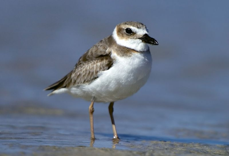 "Wilson's Plover (Charadrius wilsonia) - These birds might feign a broken wing to lure predators away from their chicks. Learn more at <a href=""http://www.dnr.sc.gov/wildlife/species/coastalbirds/"">http://www.dnr.sc.gov/wildlife/species/coastalbirds/</a>."