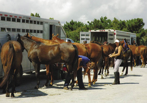 Preparation for a match starts in the early morning with unloading a string of six to eight mounts per player, braiding their tails, and wrapping their legs.