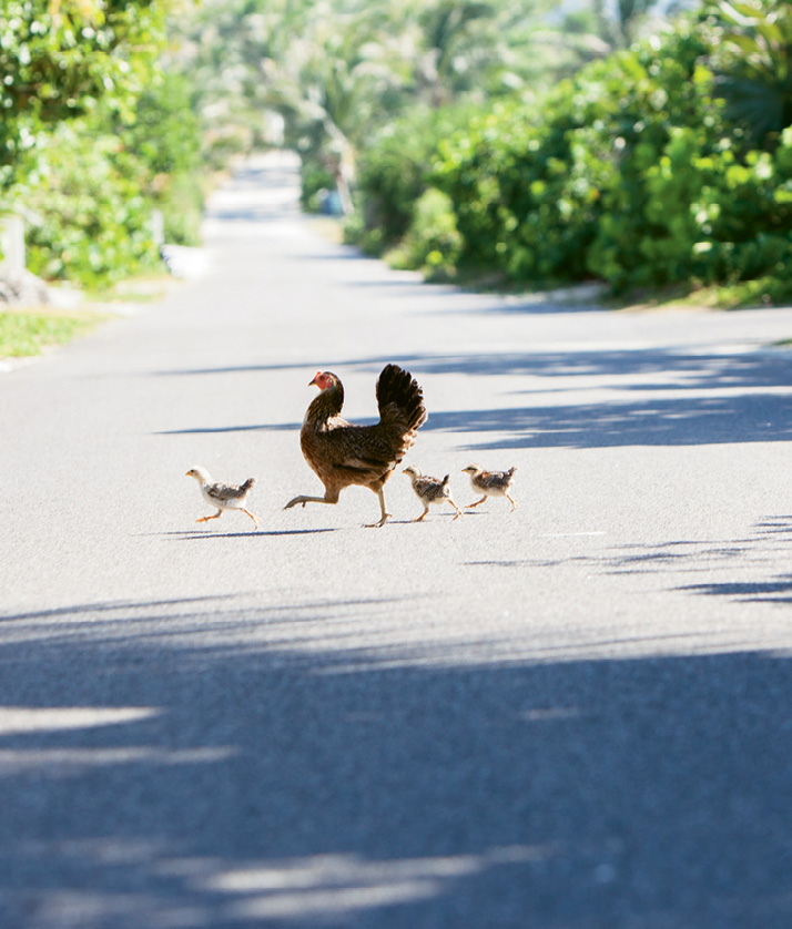 Roaming chickens are a common site
