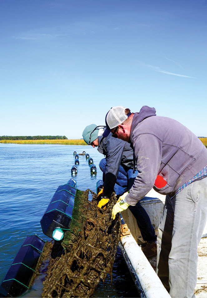 "An alternate approach is to ""farm"" oysters by growing them in floating cages, which gives local beds time to rebound. Operating near Botany Bay, the Barrier Island Oyster Company (at right, second and third photos from the top) debuted its Sea Cloud singles to local restaurants last year.<br />"