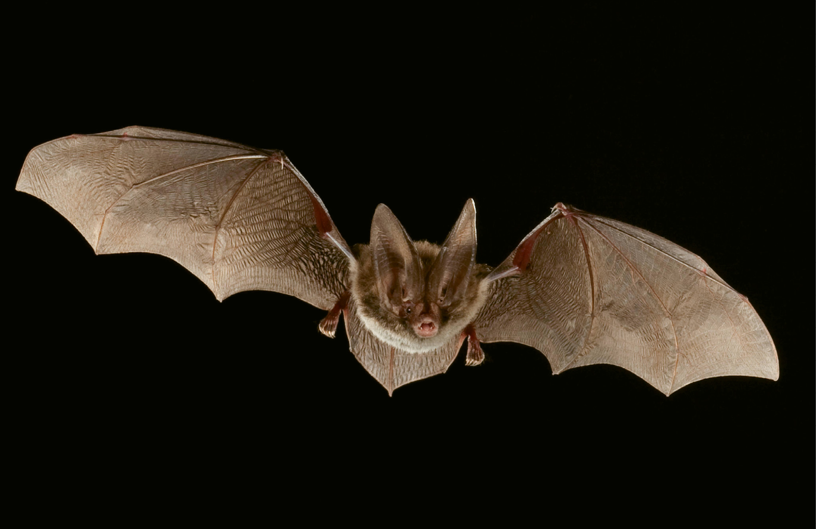 "Rafinesque's Big-Eared Bat (Corynorhinus rafinesquii) - The bat forages for insects, especially moths and mosquitoes, for several hours after dark; Due to its wide distribution, IUCN Red List categorizes the species as being of ""least concern."" However, four states (Georgia, West Virginia, South Carolina, and Tennessee) have reported population declines, and populations in Indiana and Ohio likely have been eradicated."