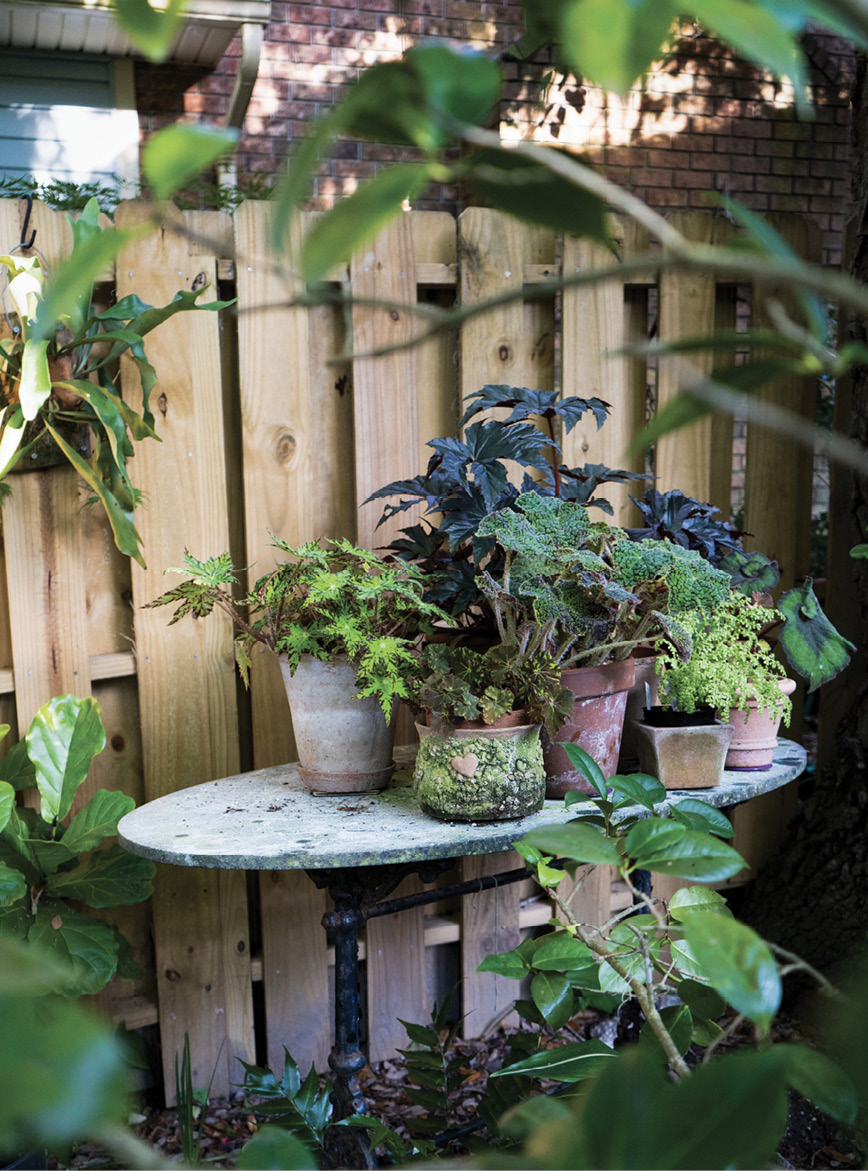 In the Mix: Fancy-leaf begonias convene on a table, adding height at the back fence.