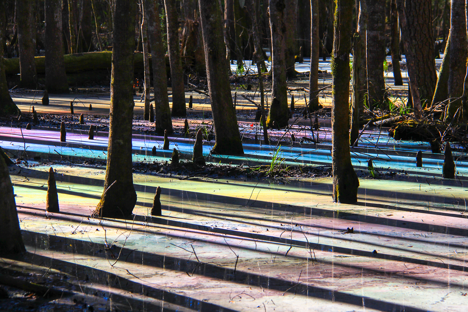 "HONORABLE MENTION Amateur category: Colors in the Swamp by Weatherly Meadors; ""A few times a year, mainly in the spring when the light hits just the perfect angle, the surface of the water in this cypress swamp erupt into color palate worthy of any painter.  The spectacle may be caused by tannins in the water created a sheen of oil on the surface that reflects the light back in this way. Taken at Caw Caw Interpretive Center, January 2016."""