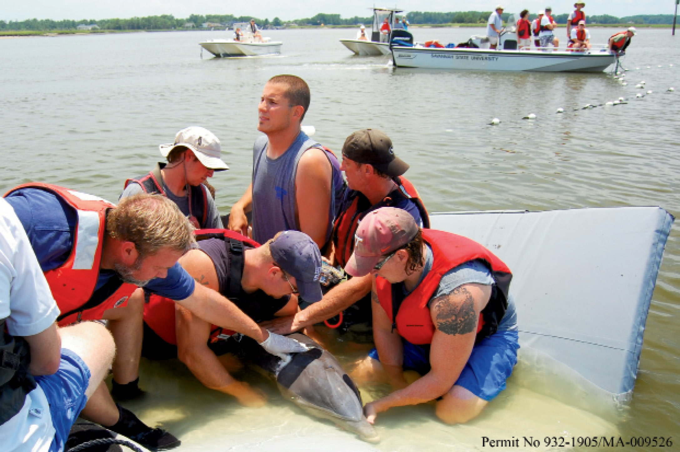 Dolphin R&R (Rescue & Research): National Ocean Service contractors, along with personnel from Harbor Branch Oceanographic, Georgia DNR, Bayside Hospital for Animals, Georgia Sea Turtle Center, UNC Wilmington, and Savannah State University, work to disentangle a sub-adult female bottlenose dolphin.