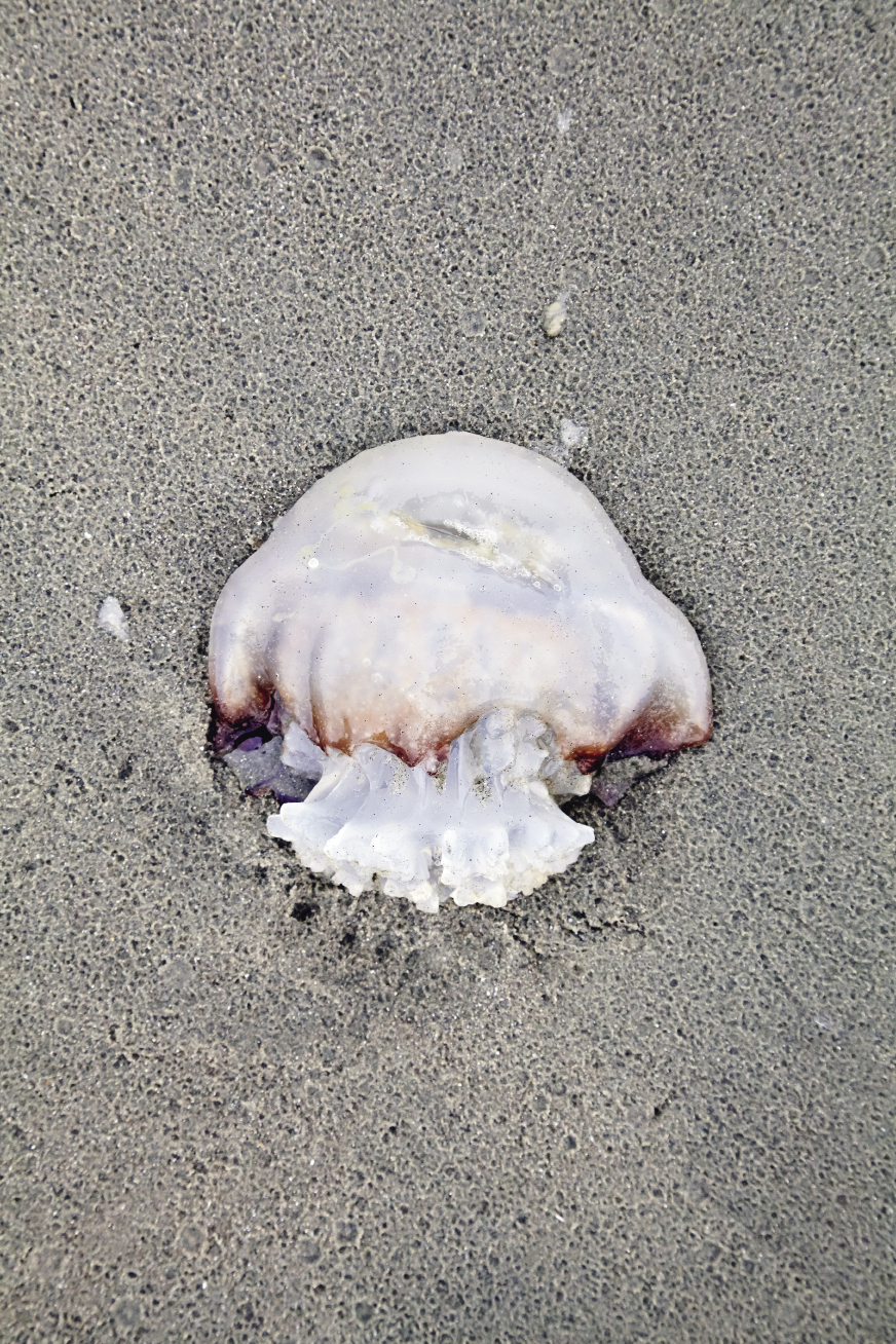 Jellyfish are a common sight along our wild coast. Cannonball jellies like this aren't much of a threat; it's the wispy sea wasp, sea nettle, and Portuguese man-of-wars that can turn even a small-wave surf session dangerous.