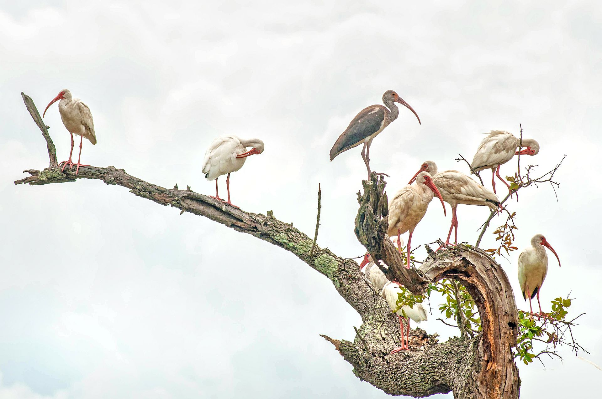 "HONORABLE MENTION Professional category: Ibis Gathering by Donnie Smith; ""Magnolia Cemetery has a very diverse bird population. It's a popular spot for Charleston birders."""