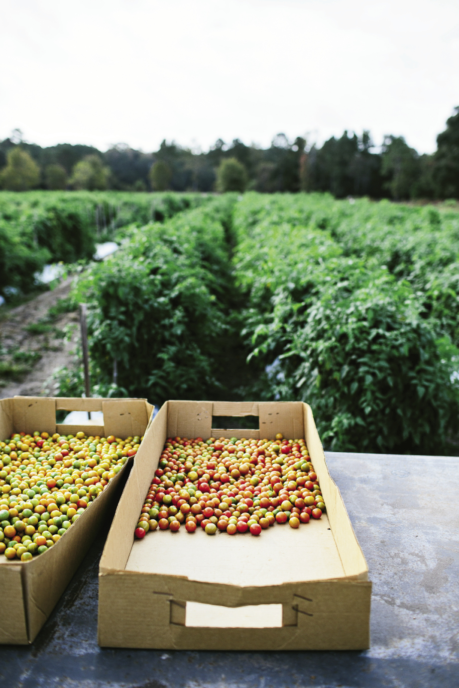 """Shawn Thackeray has been growing his signature—and aptly named—""""Wadmalaw Fuglies"""" at his farm on the island for 12 years. These are picked green for shipping to supermarket shelves. But don't let their scarred looks fool you: Fuglies have a mild, sweet flavor and are well-balanced with acidity. Thackeray also produces a bounty of other tomatoes, including these colorful heirloom cherries."""