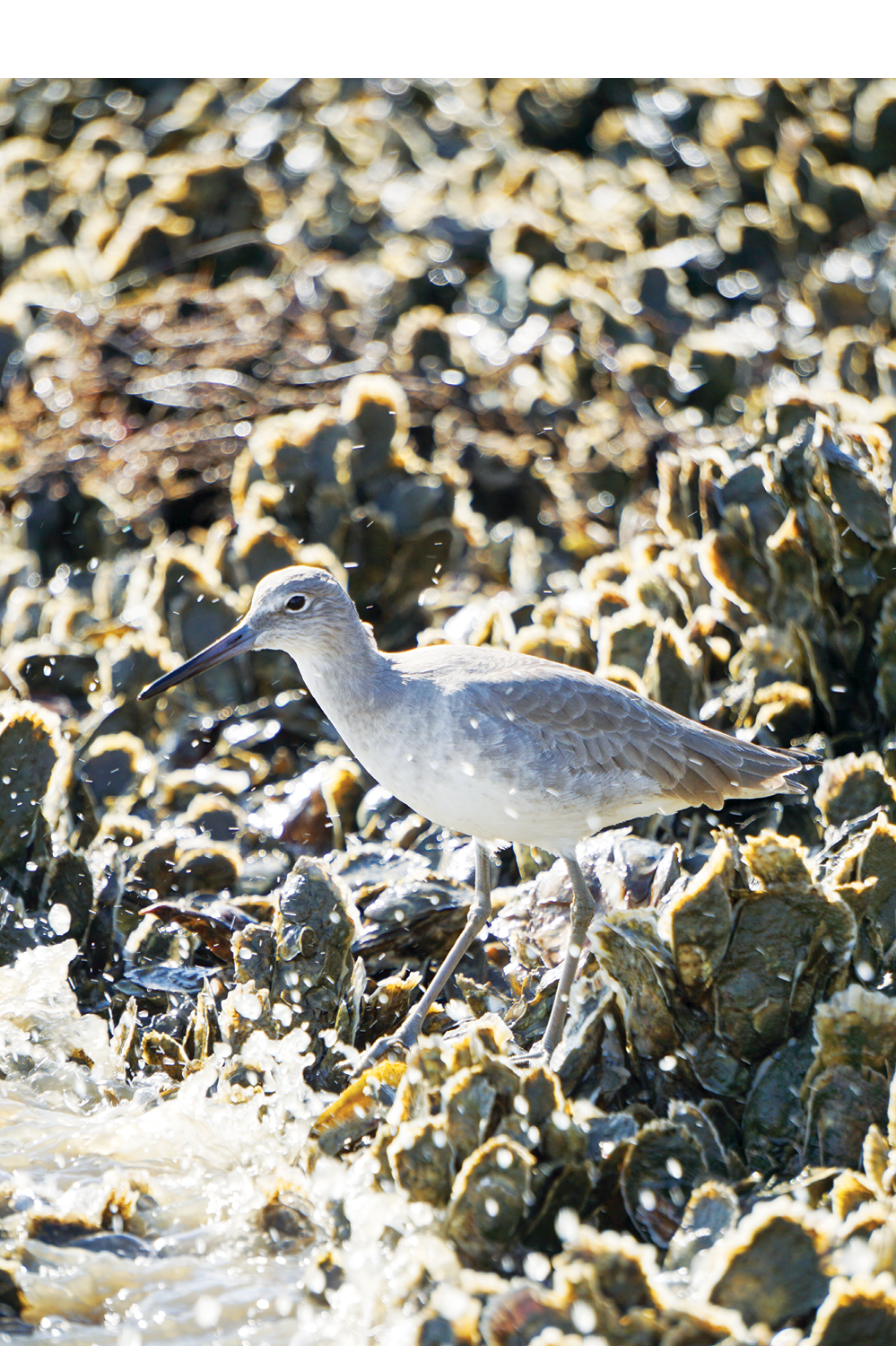 A scavenging willet stays close by, hoping for scraps.<br />