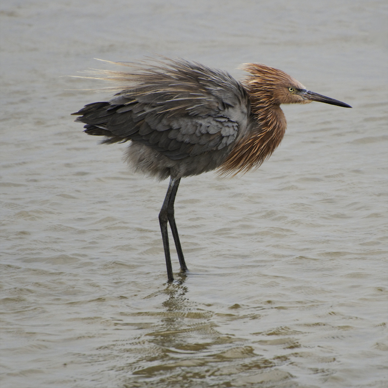 With brownish-pink plumes on its head and long, quill-like plumes along its back, the reddish egret has a more formidable costume than its snowy sisters but still stalks a tidal pond with grace and elegance.