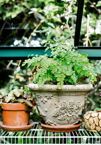 maidenhair_fern_0_0.jpg