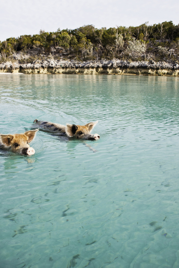 The famous swimming pigs roam free on an island near Staniel Cay.