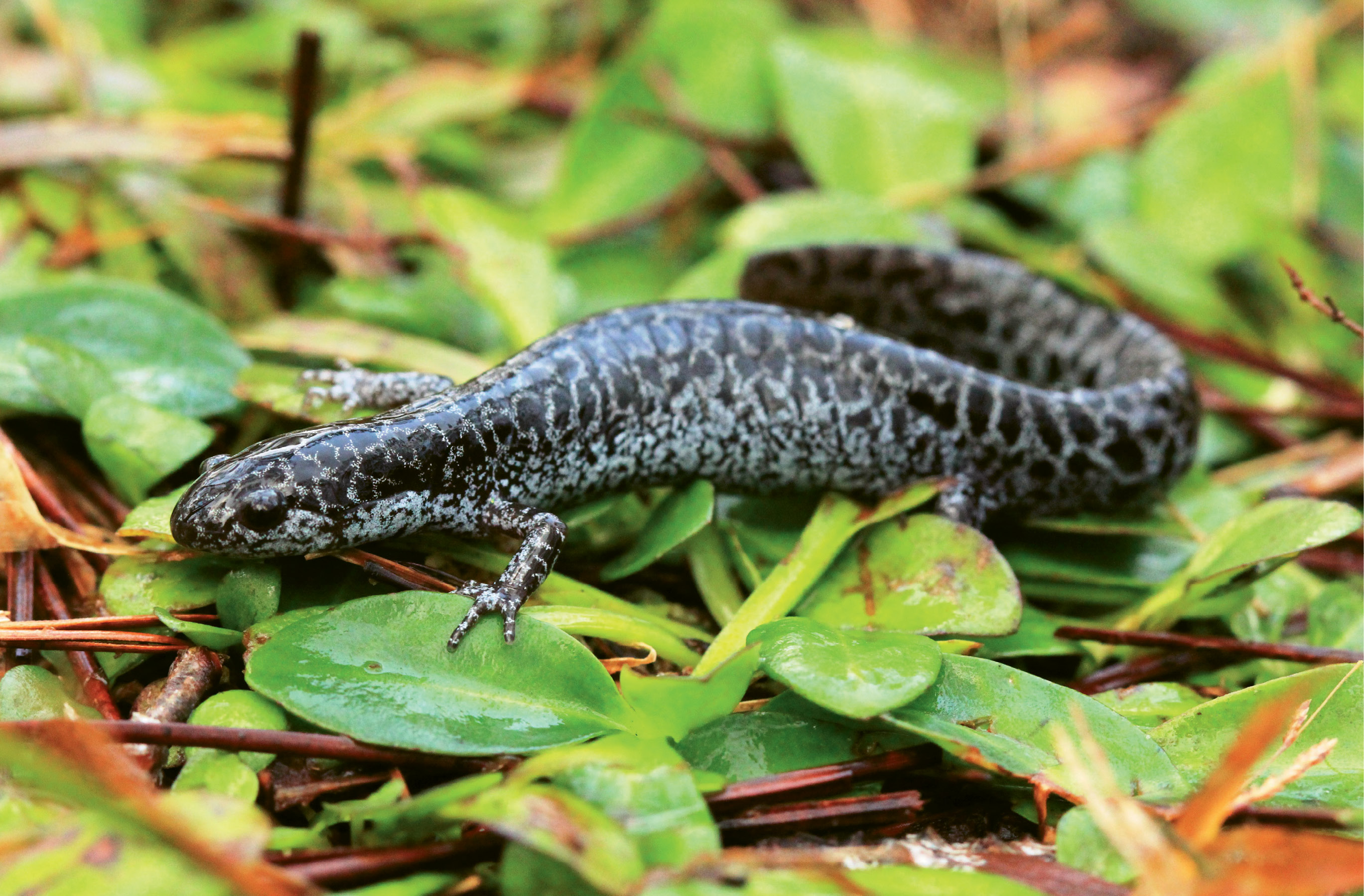 Frosted Flatwoods Salamander (Ambystoma cingulatum) - Destruction of habitat due to logging and development is the primary threat to these endangered amphibians.