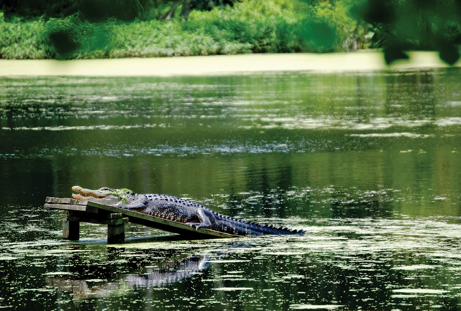 Boardwalks wind around blackwater cypress and tupelo trees in the 60-acre swamp garden, where all manner of wildlife—from herons, egrets, and anhingas to alligators and otters—can be spied.
