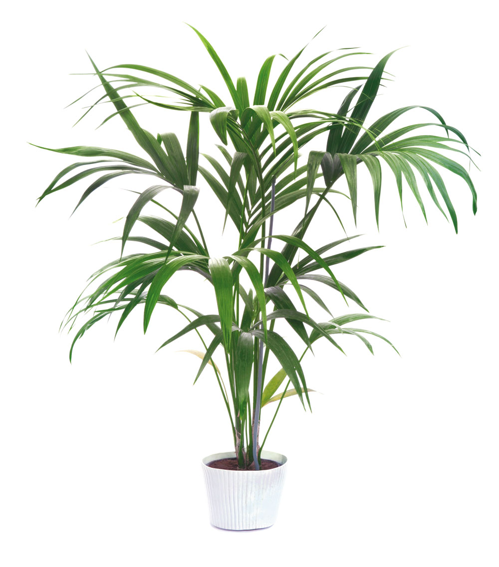 Potted kentia palm, $399 at Hyams  Garden Center