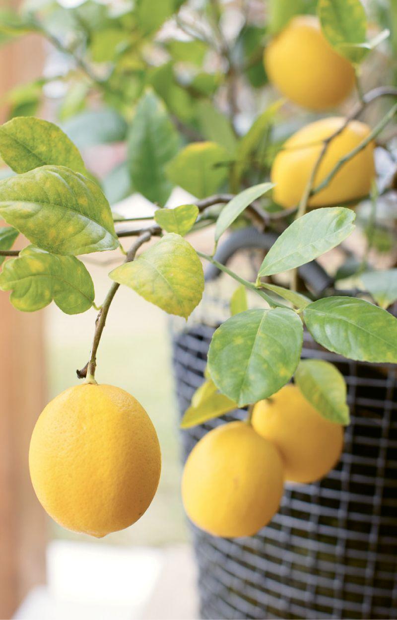 A Meyer lemon