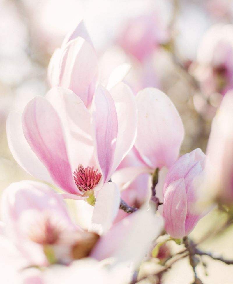 "At First Blush: An early harbinger of spring, saucer magnolias, or ""tulip trees,"" at Hampton Park"