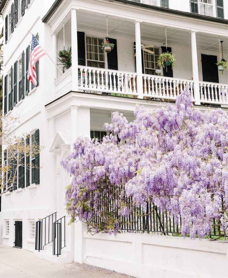 Purple Reign: The famous wisteria blooms at 54 Meeting Street