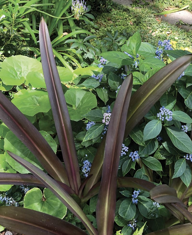 Color Play: 'Sparkling Burgundy' pineapple lily weaves together with farfugium and blue evergreen hydrangea.