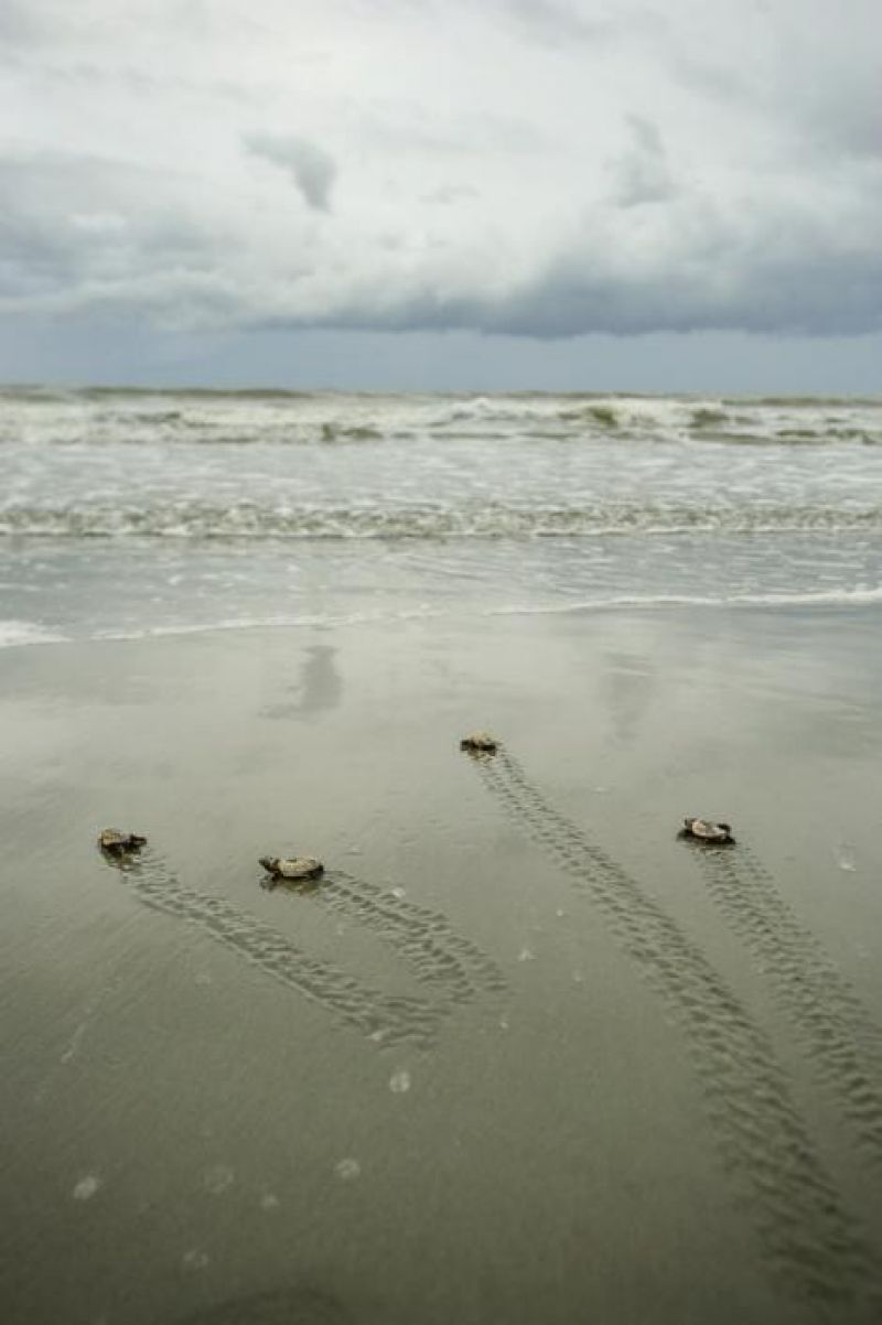 The arduous journey to adulthood begins for four baby loggerheads who lagged behind when their siblings emerged three nights prior. It will be another 20 to 30 years before they reach reproductive maturity and return to a beach to continue the cycle.