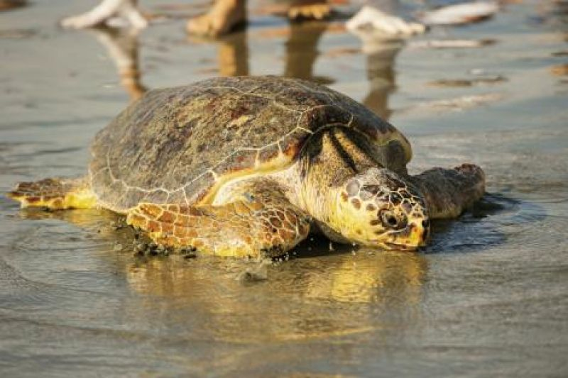 Nest numbers are on the upswing, and the population of in-water turtles counted through DNR's random sampling are up as well. A few years ago, Mike Arendt's in-water trawl team re-caught the first turtle treated and released by the aquarium 10 years prior. She was healthy.
