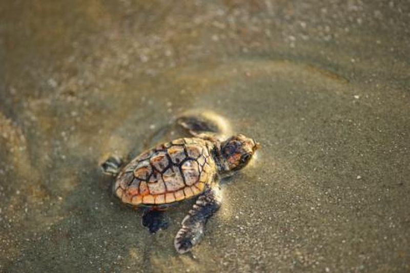 """These are definitely charismatic animals,"" says Kelly Thorvalson of the S.C. Aquarium. People gravitate to and relate to sea turtles, and by becoming invested in turtle well being, they in turn become more interested in caring for the broader marine habitat."