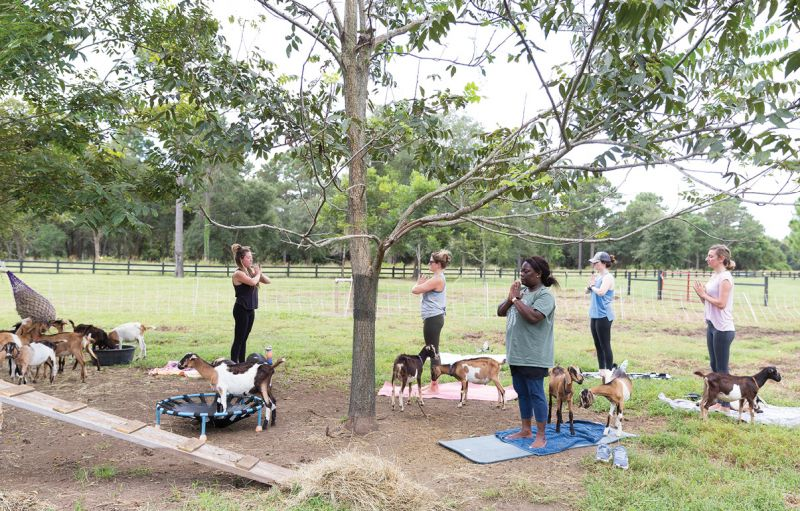 Goat yoga at The Goatery at Kiawah River.
